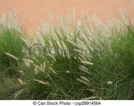 Stock Image of poaceae.