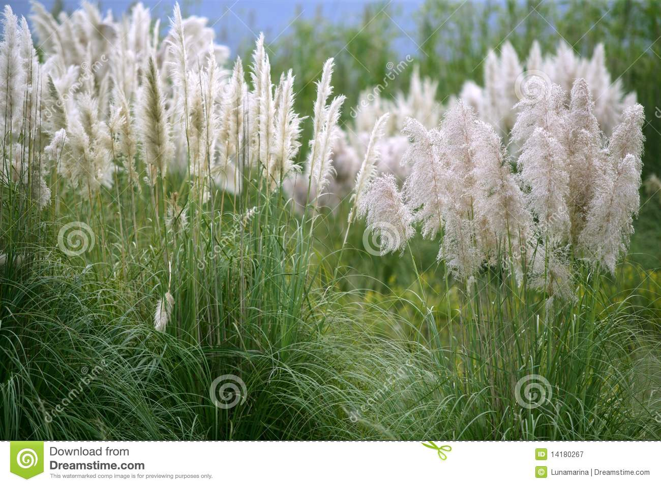 Poaceae Stock Photo.