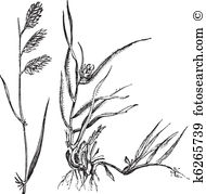 Poaceae Clip Art and Illustration. 39 poaceae clipart vector EPS.