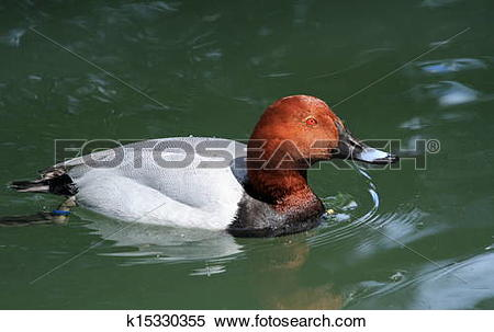 Stock Image of Pochard male duck k15330355.