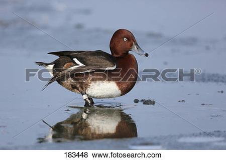 Pictures of Ferruginous Duck, Ferruginous Pochard (Aythya nyroca.