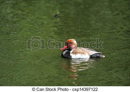 Stock Photo of Red Crested Pochard csp14397122.