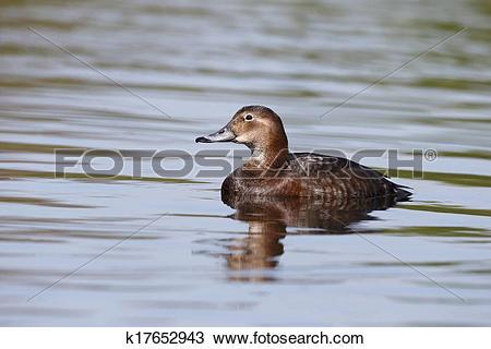 Stock Photo of Northern pochard, Aythya ferina k17652943.