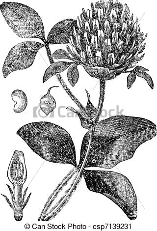 Vector Clip Art of Red Clover or Trifolium pratense, vintage.
