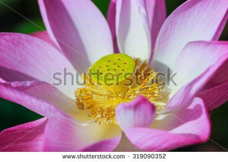 Lotus Seed Pod Pond Stock Photos, Royalty.