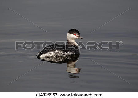 Picture of Slavonian grebe, Podiceps auritus k14926957.