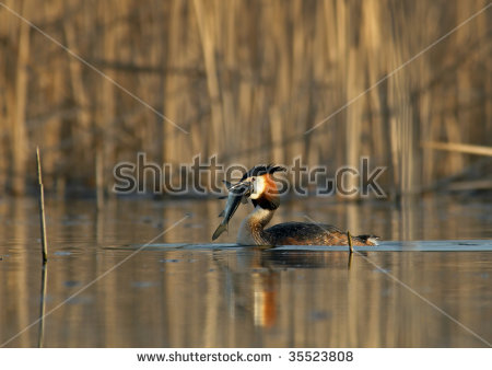 Great Crested Grebe Stock Photos, Royalty.