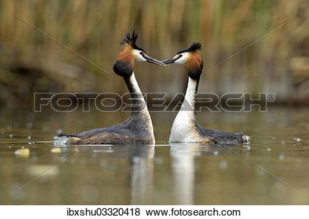 """Pictures of """"Great Crested Grebes (Podiceps cristatus) during a."""