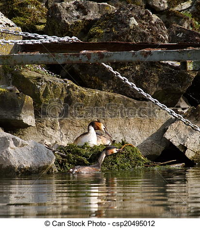 Stock Photography of Crested grebe (podiceps cristatus) nest in.