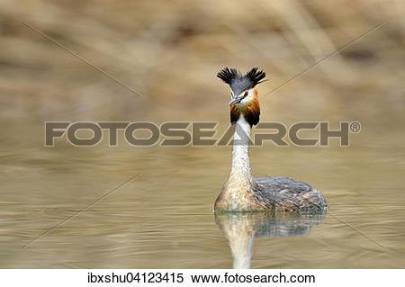 Stock Image of Great Crested Grebe (Podiceps cristatus), Lake.