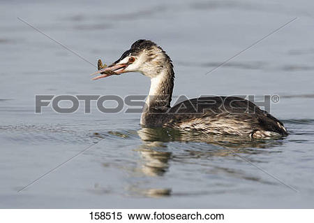 Stock Image of Great Crested Grebe with prey.