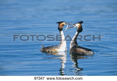 Picture of Great Crested grebes.