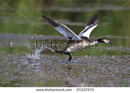 Podiceps Cristatus Stock Images, Royalty.
