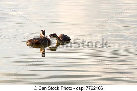 Stock Image of Great Crested Grebe or Podiceps cristatus.