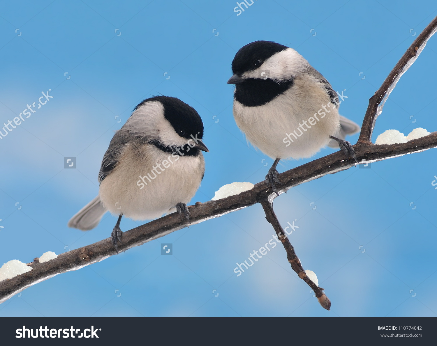 Two Adorable Black Capped Chickadee Friends Stock Photo 110774042.