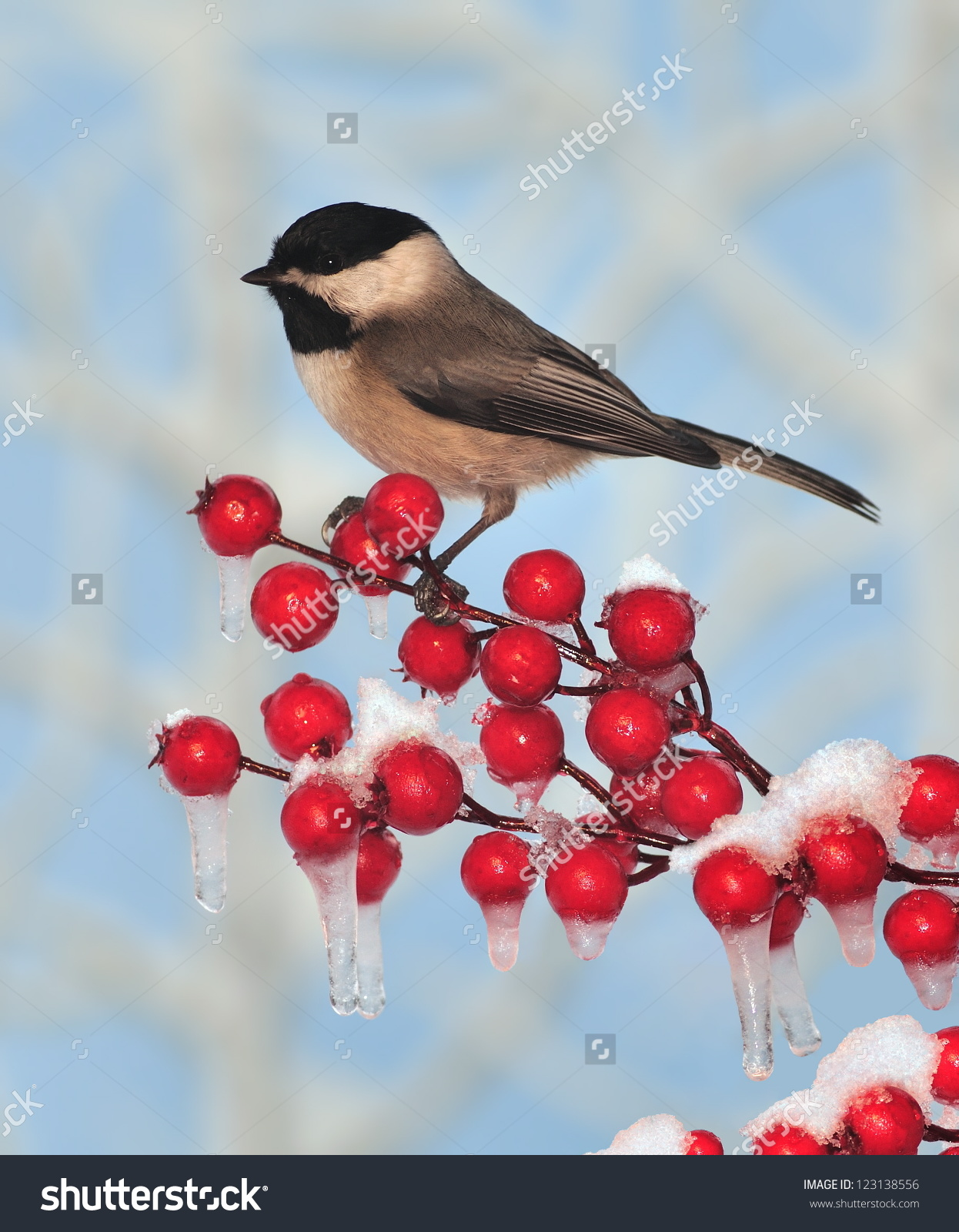Black Capped Chickadee Poecile Atricapillus On Stock Photo.