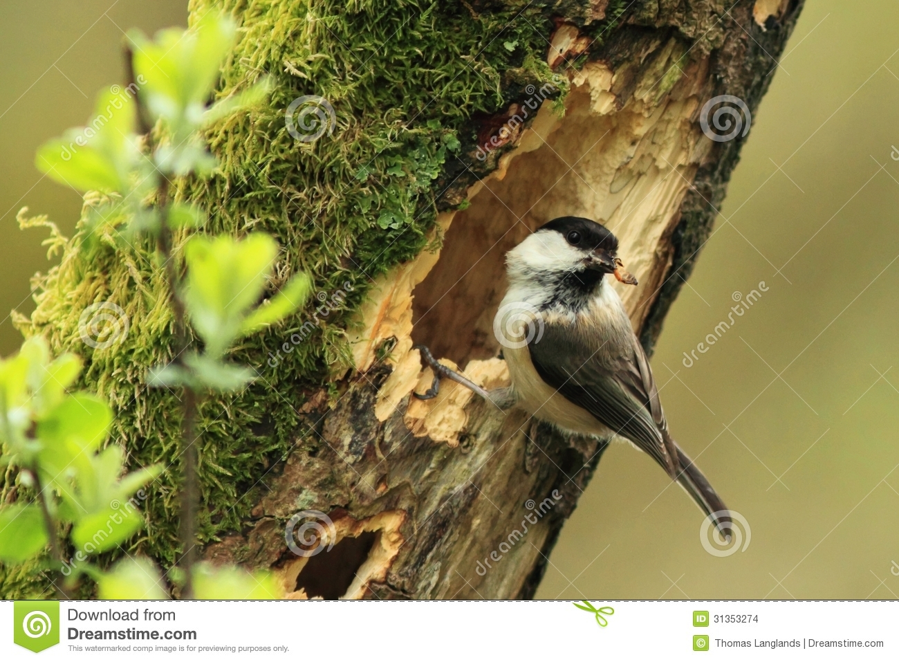 Willow Tit (Poecile Montanus) Stock Images.