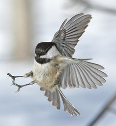 Chickadee. Wild birds flying photographed by Paul Nelson..