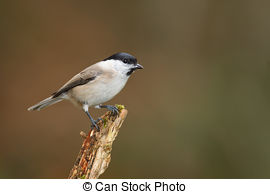 Stock Image of Flying Willow Tit in winter forest.