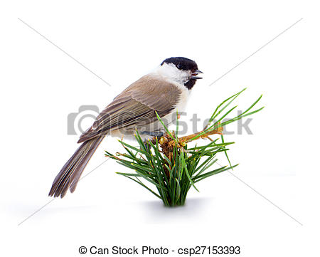 Stock Photographs of Willow tit Parus montanus on a white.