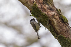 Willow Tit (Poecile Montanus) Stock Photography.