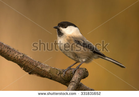 Poecile Montanus Stock Photos, Images, & Pictures.