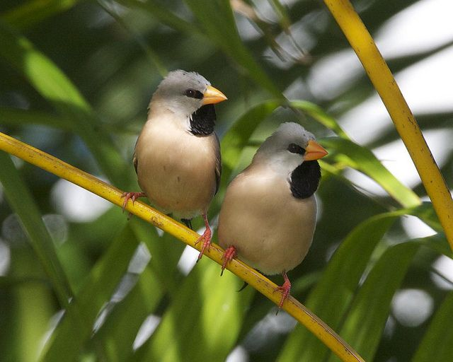 1000+ images about Finches of the world on Pinterest.
