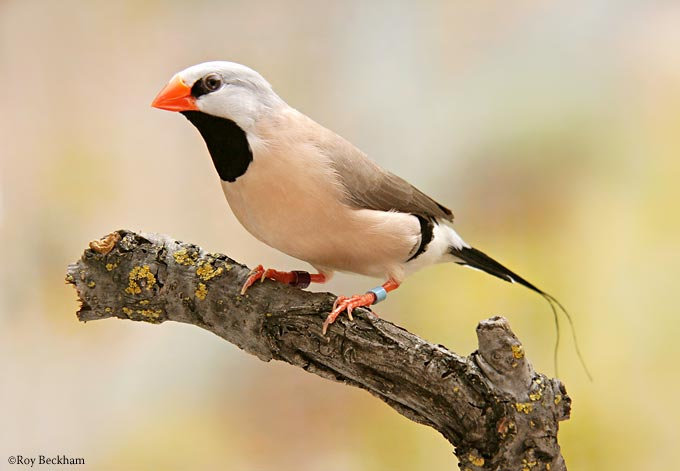 The Shafttail Finch.