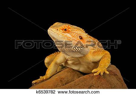 Stock Photo of Bearded Dragon (Pogona vitticeps) k6539782.