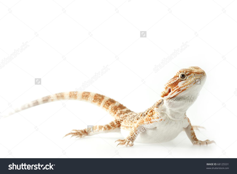 Baby Lizard Pogona Vitticeps This One Know As Sandfire, Macro.