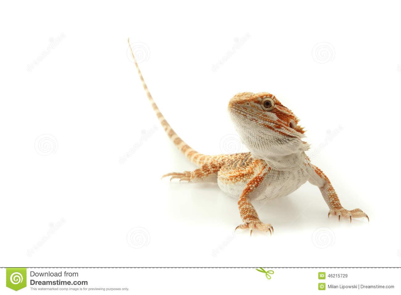 Pet Lizard Bearded Dragon.