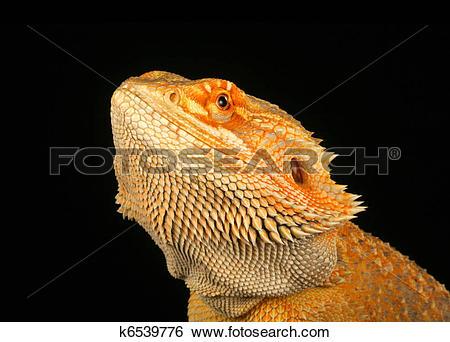 Stock Images of Bearded Dragon (Pogona vitticeps) k6539776.