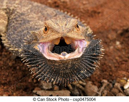 Stock Photo of Angry Bearded Dragon (Pogona vitticeps), Sturt.