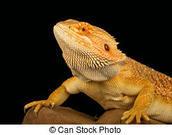 Picture of Bearded Dragon (Pogona vitticeps).