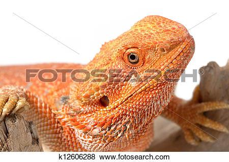 Pictures of Closeup bearded dragon (pogona vitticeps) on white.