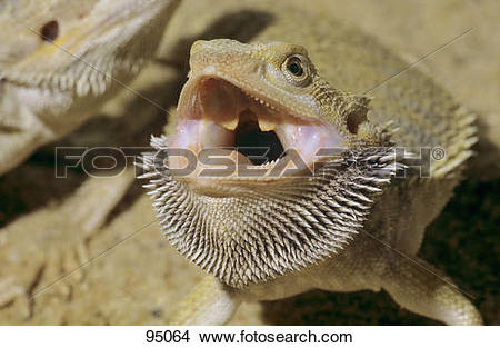 Stock Photo of Central Bearded Dragon.