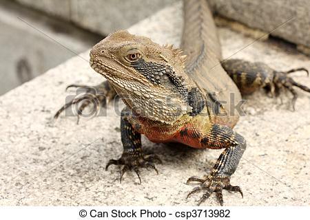 Stock Photo of Bearded dragon (pogona vitticeps) basks in the sun.
