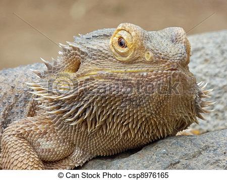 Stock Images of Inland Bearded Dragon (Pogona vitticeps).