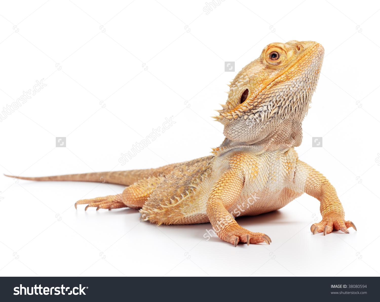 Bearded Dragon Pogona Vitticeps Isolated On Stock Photo 38080594.