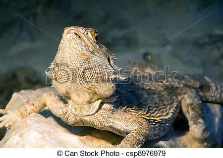 Stock Photographs of bearded Dragon Pogona vitticeps.