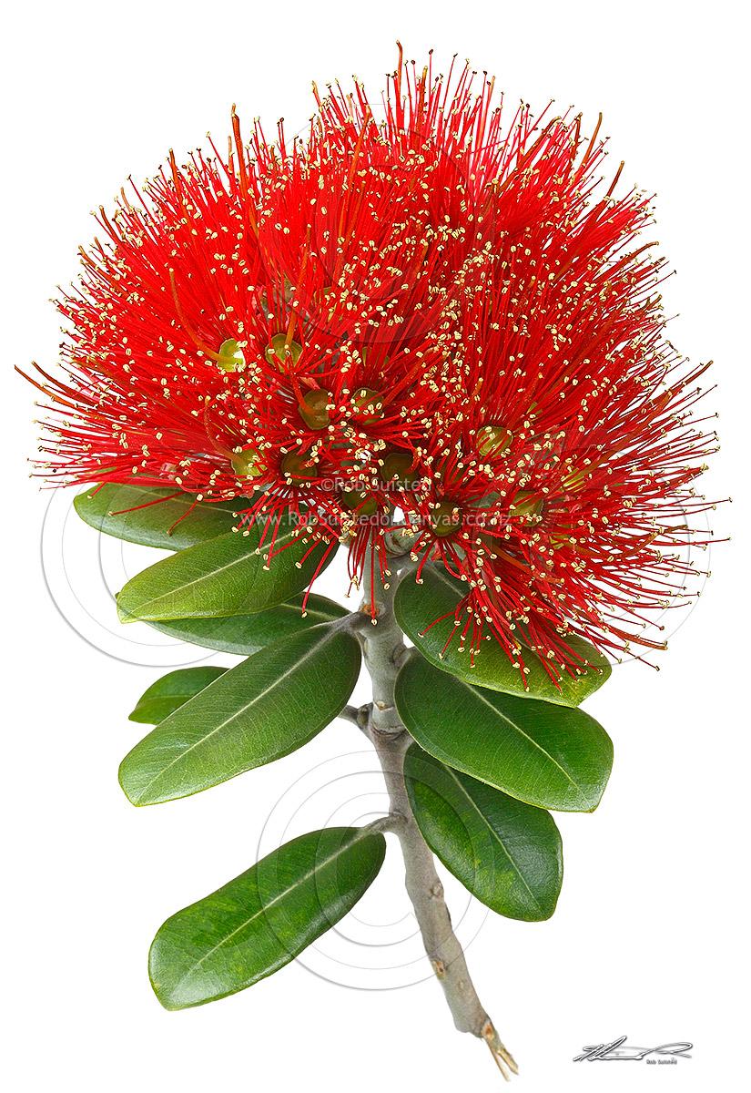 pohutukawa flower beautiful detail.