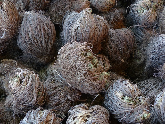 Free photo Rose Of Jericho True Rose Of Jericho Plant.