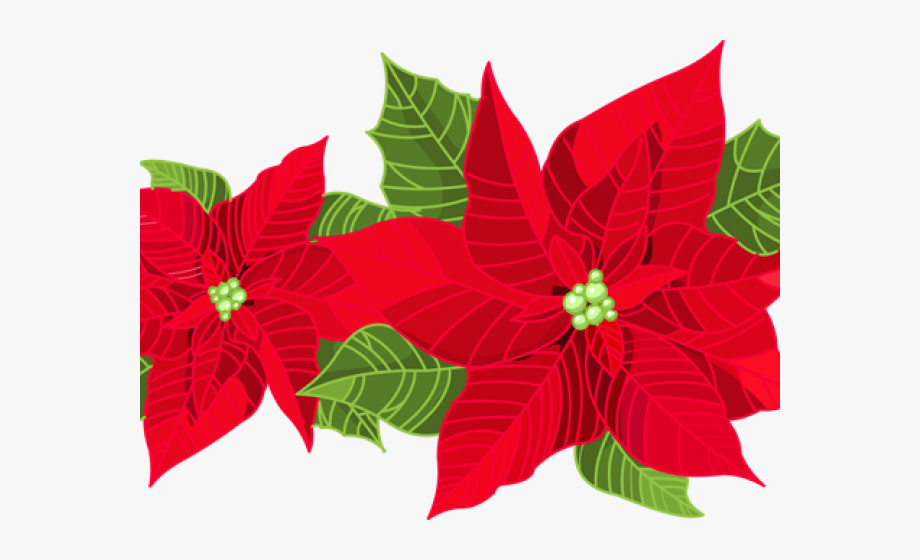 Poinsettia Clipart Transparent Background.
