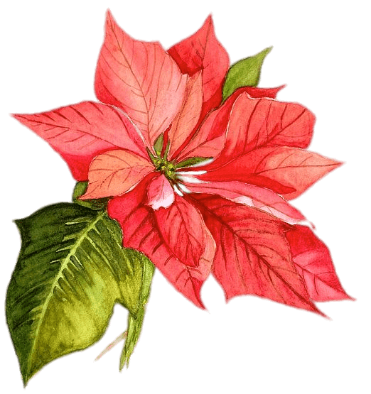 Poinsettia Drawing transparent PNG.