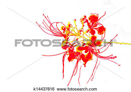 Stock Images of Poinciana Flower k14437816.