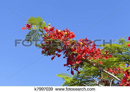 Stock Photograph of Poinciana Tree Flowers k7997039.