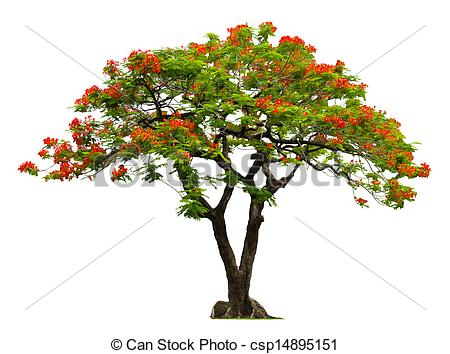 Poinciana Stock Photo Images. 623 Poinciana royalty free images.