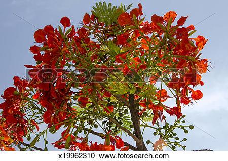 Stock Photography of Royal Poinciana tree flowers x19962310.