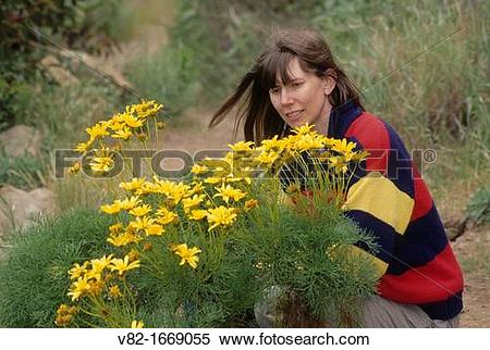 Stock Image of Giant coreopsis in La Jolla Canyon, Point Mugu.