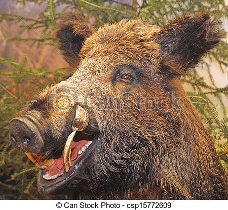 Stock Photography of grin and pointed tooth of a wild boar of.